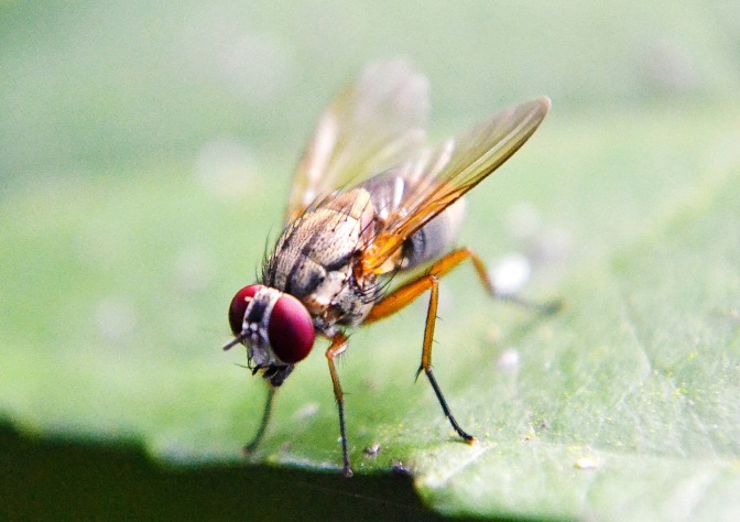 What can a simple fruit fly teach us about ageing?